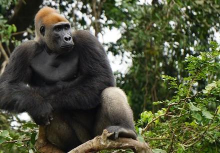 Un gorille assis sur une branche