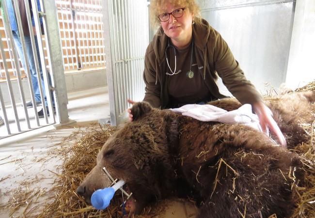 Sabine during a vet check of a rescued bear