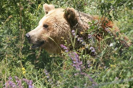 Bear in the grass