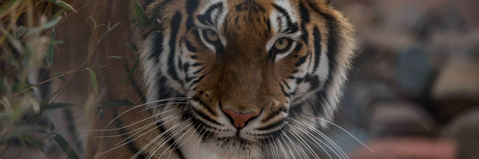 Tigerdame Cara bei TIERART