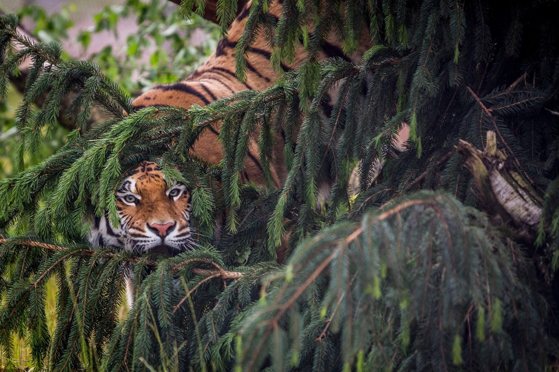 Tiger im Versteck bei TIERART