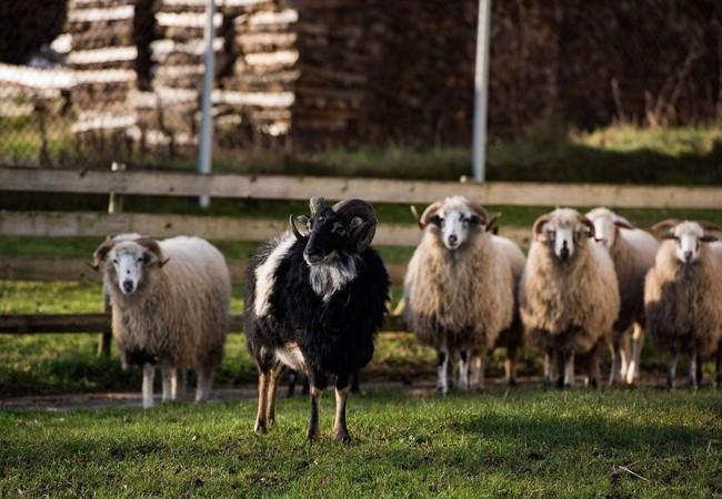Bischoff und weitere Schafe bei TIERART