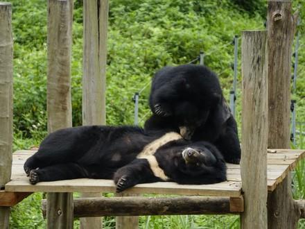 Asiatic black bears at BEAR SANCTUARY Ninh Binh