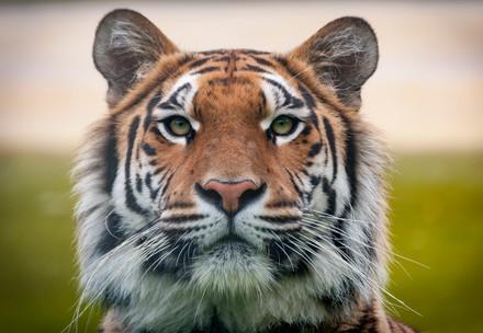 Tiger Nachaufnahme bei TIERART