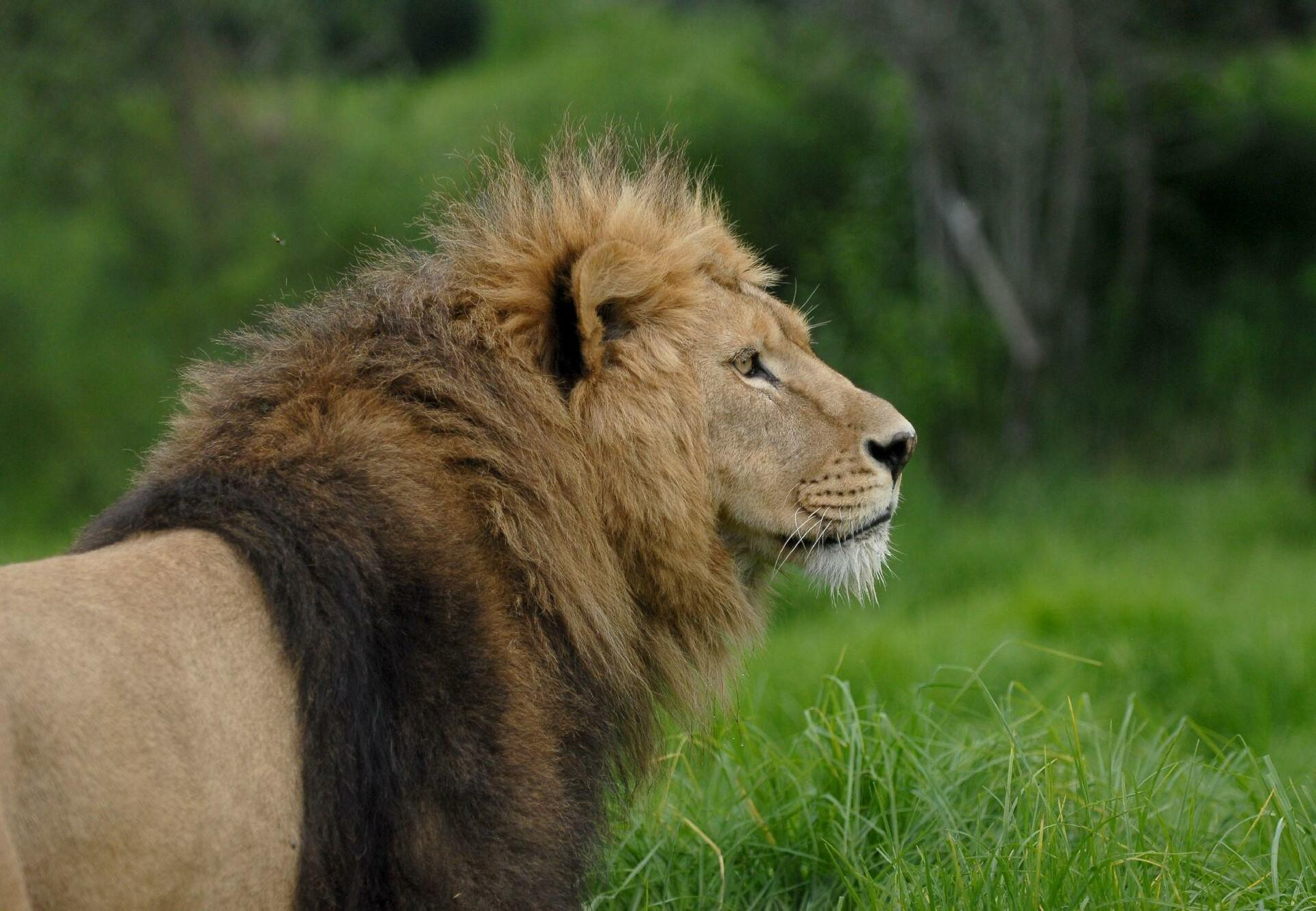 Lions in care at FOUR PAWS