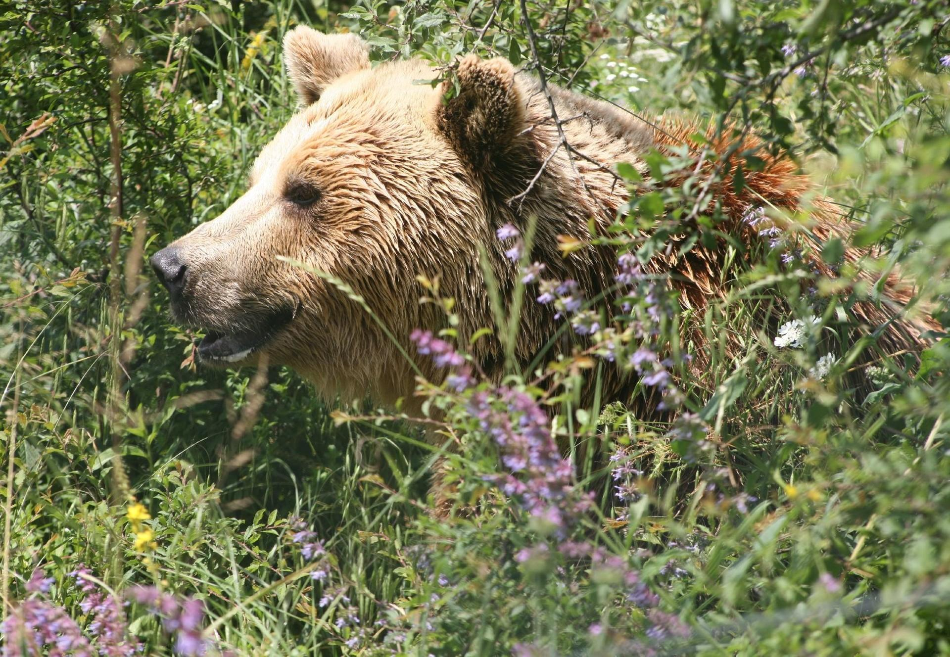 Bear is sitting in the grass