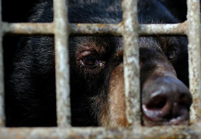 Les ours sauvés par QUATRE PATTES ont passé presque vingt ans dans des cages minuscules
