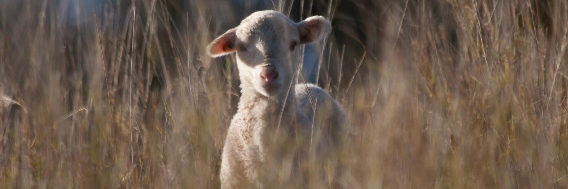 Lamm in Australien