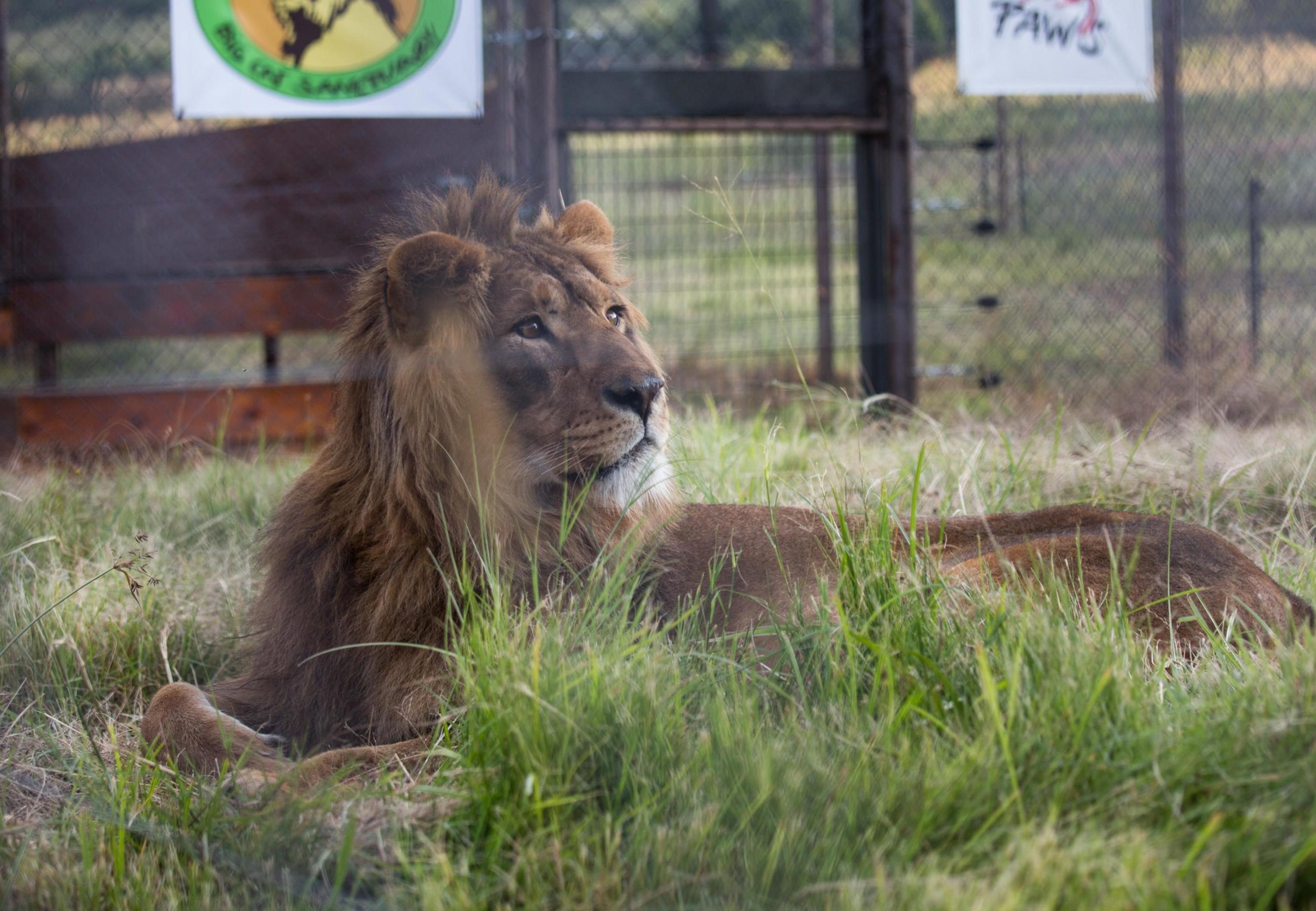 Lion Saeed
