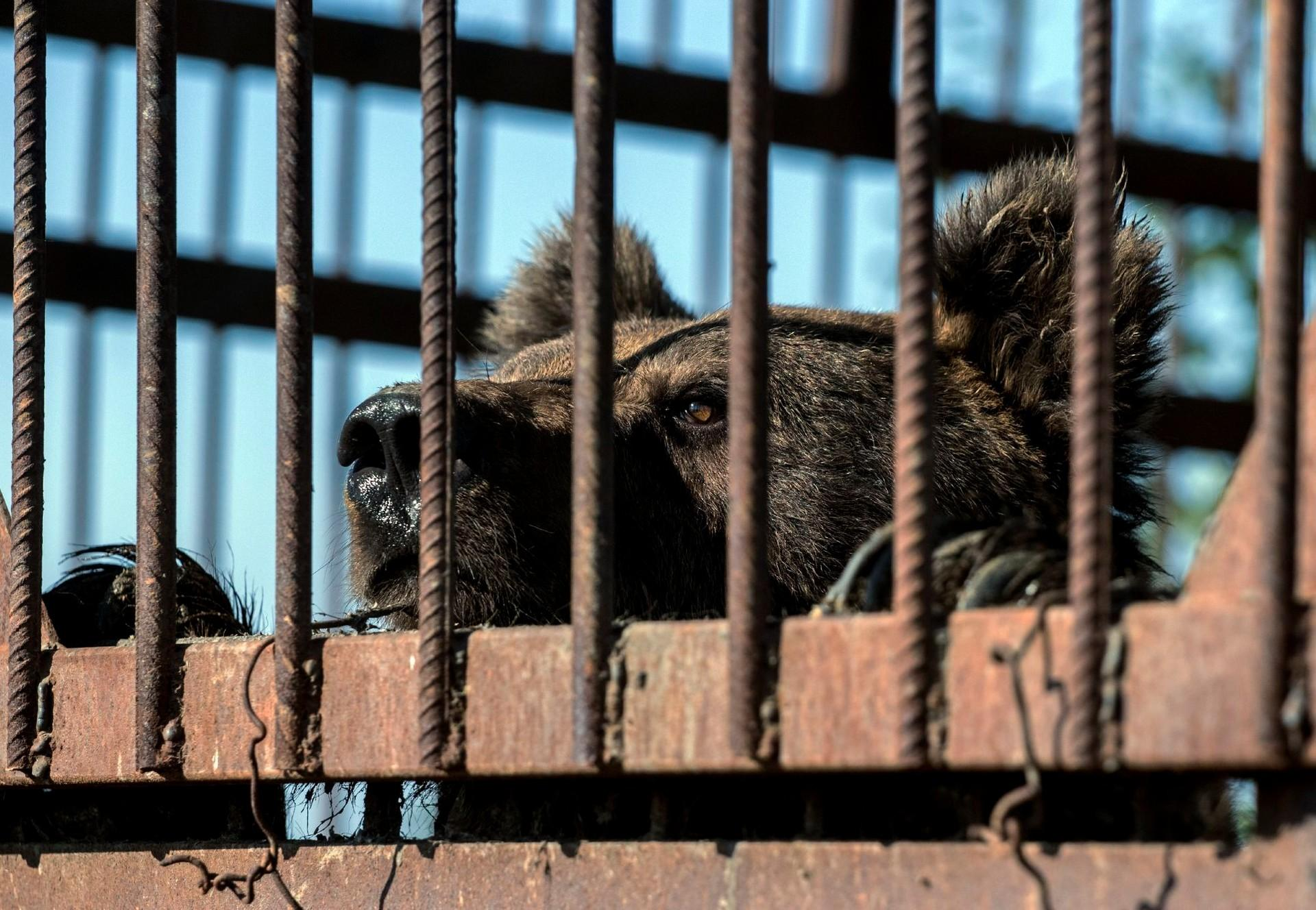 Bear in a cage in Serbia