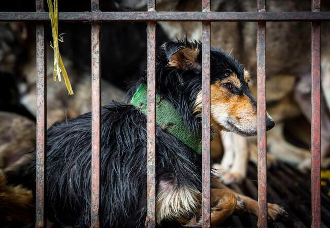 Dog in a cage in Southeast Asia