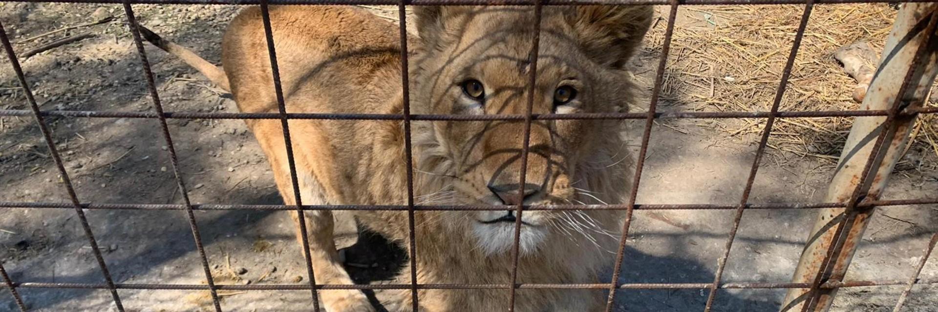 Zeven leeuwen in Roemenië