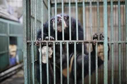 Ours à bile dans une cage