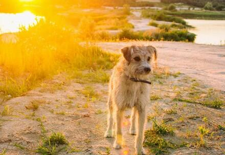 dog standing in field while sun sets