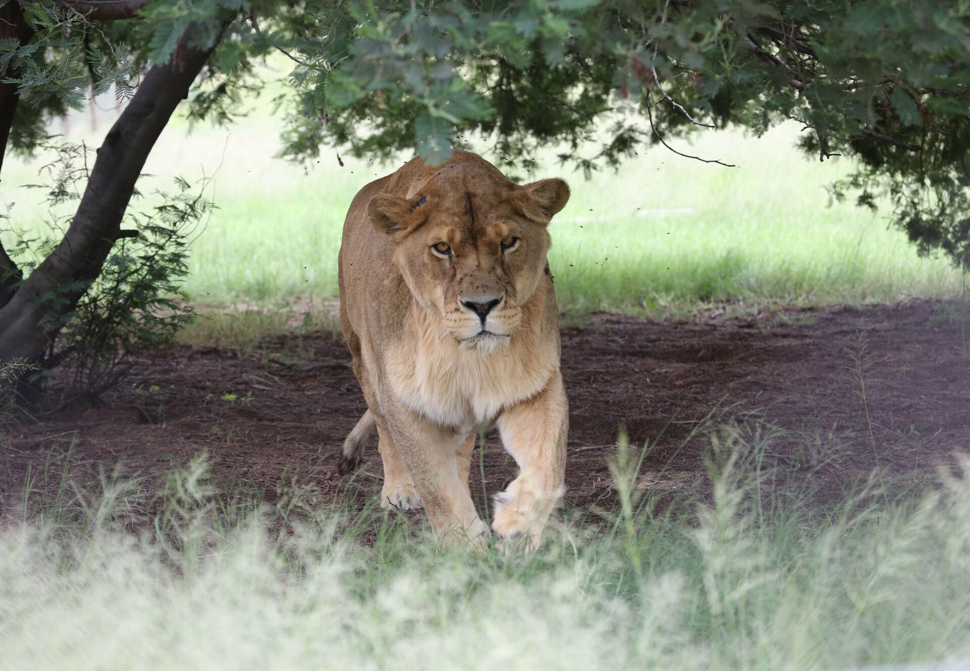 Leeuw Pregan in LIONSROCK