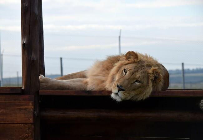 Simba at LIONSROCK
