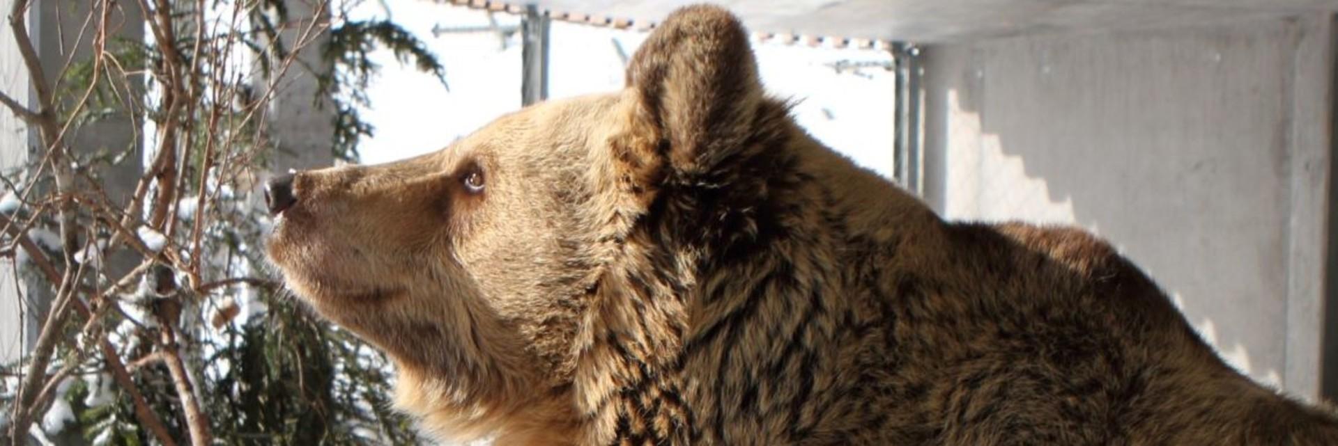 Bär in Arosa (c) VIER PFOTEN