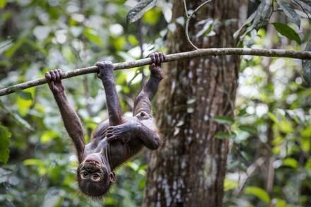 Rescued oranguntan