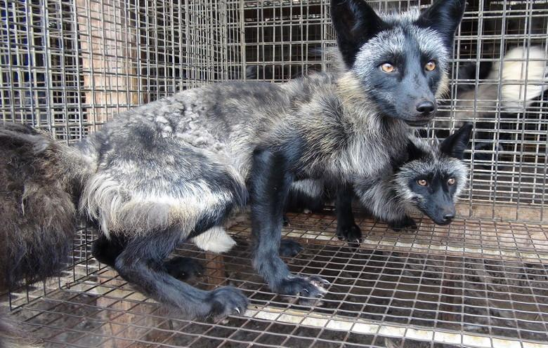 Foxes farmed in Poland