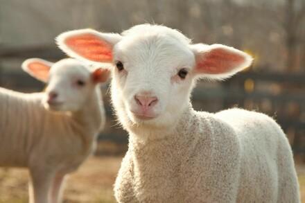 Merino lambs need our help