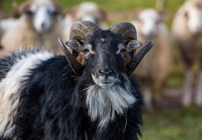Sheep Bischoff