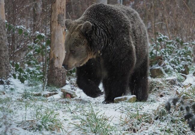 Braunbärin Brumca geht durch winterliche Landschaft