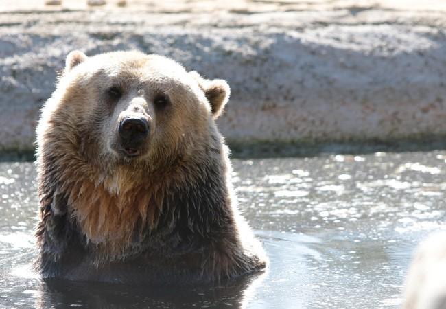 Bear Manya in her pool