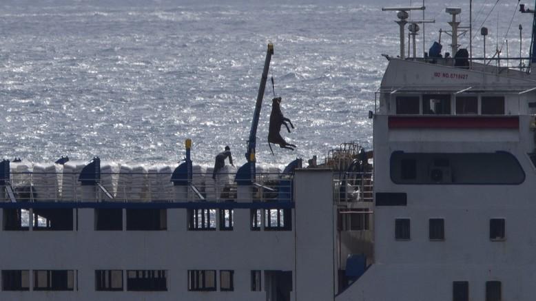 Rind wird auf einem Schiff in Cartagena (Spanien) mittels Kran verladen