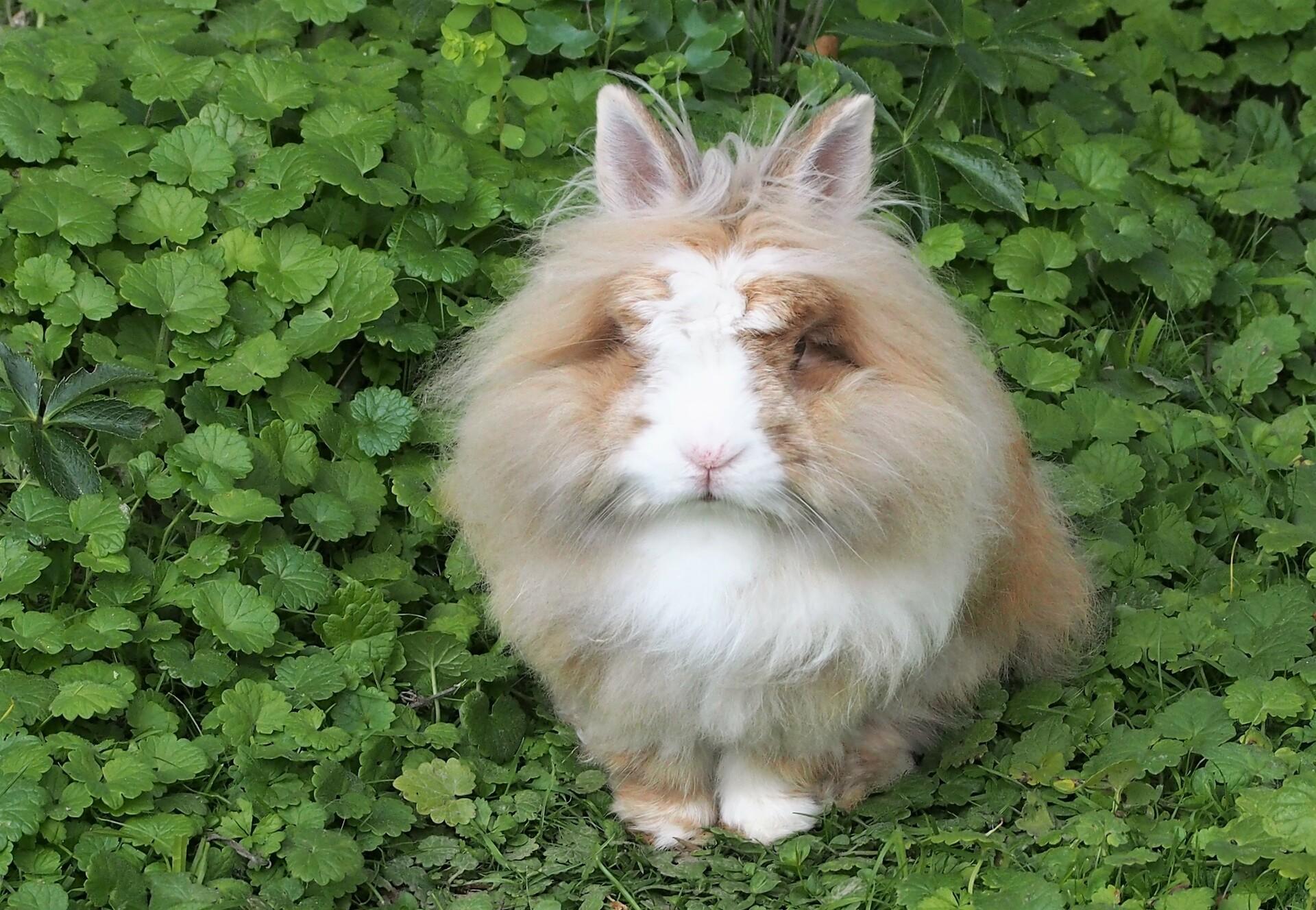 bushy bunny