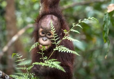 Orangutan Kartini