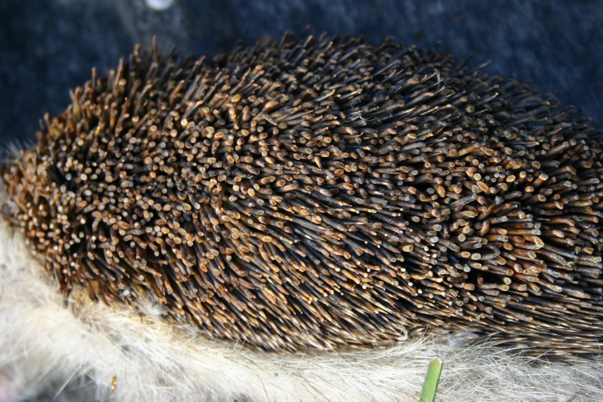 A hedgehog burnt by an Easter bonfire