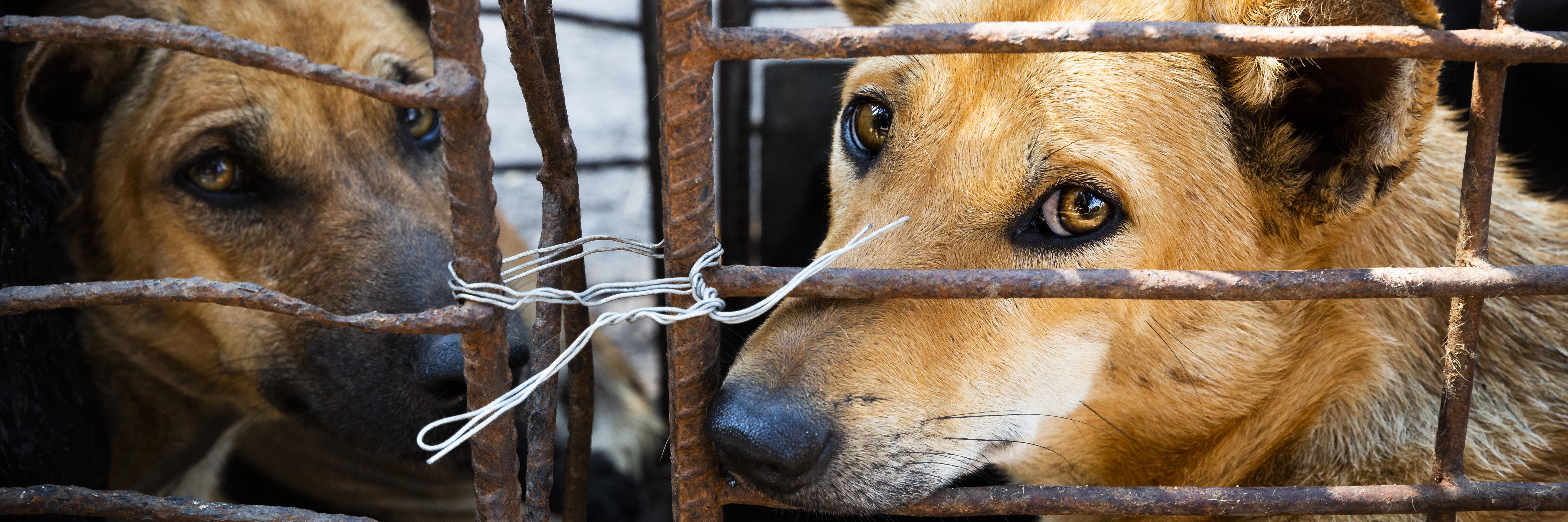 Hond in kooi bedoeld voor de handel in hondenvlees in Vietnam