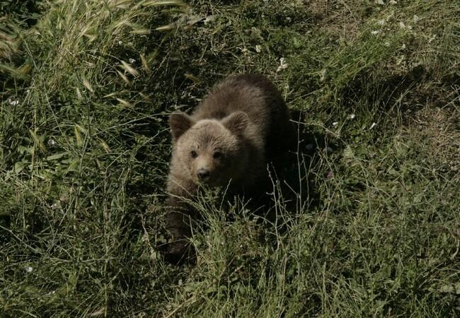 Bear cub Andre in the grass