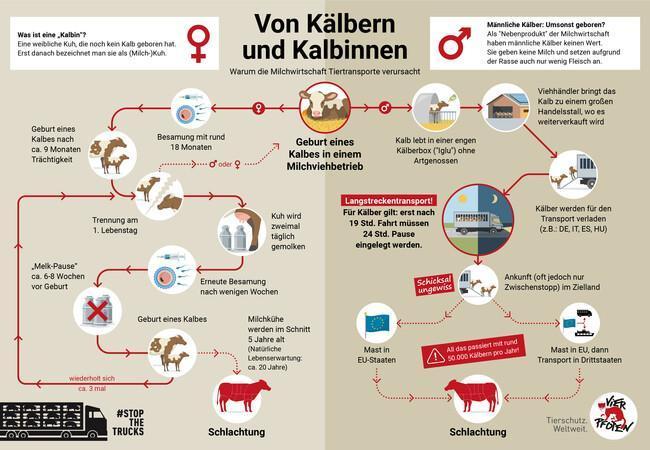 Kälber und Kalbinnen - Wie Tiertransporte und Milchwirtschaft zusammenhängen