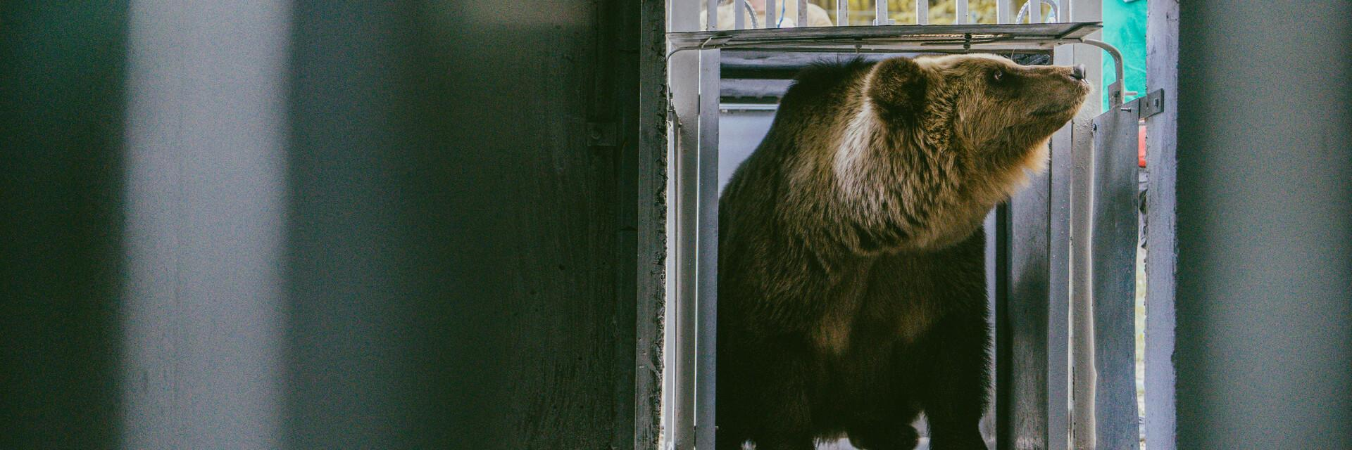 Rescue mission for bears Leo and Melanka in Ukraine