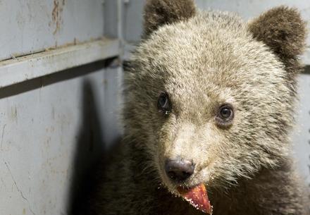 little bear in Bulgaria