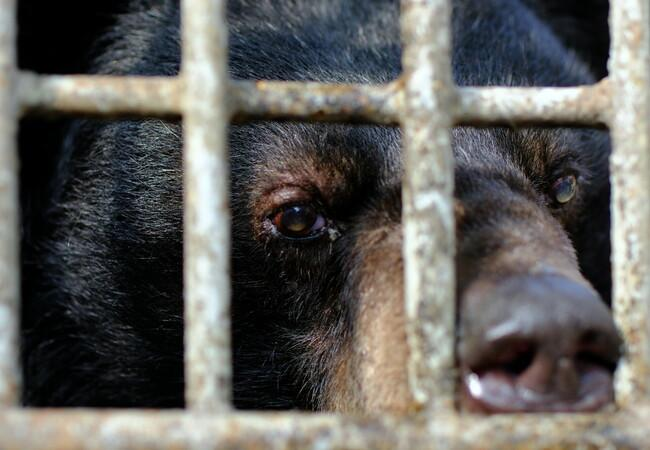 Bile bear looking through the bars