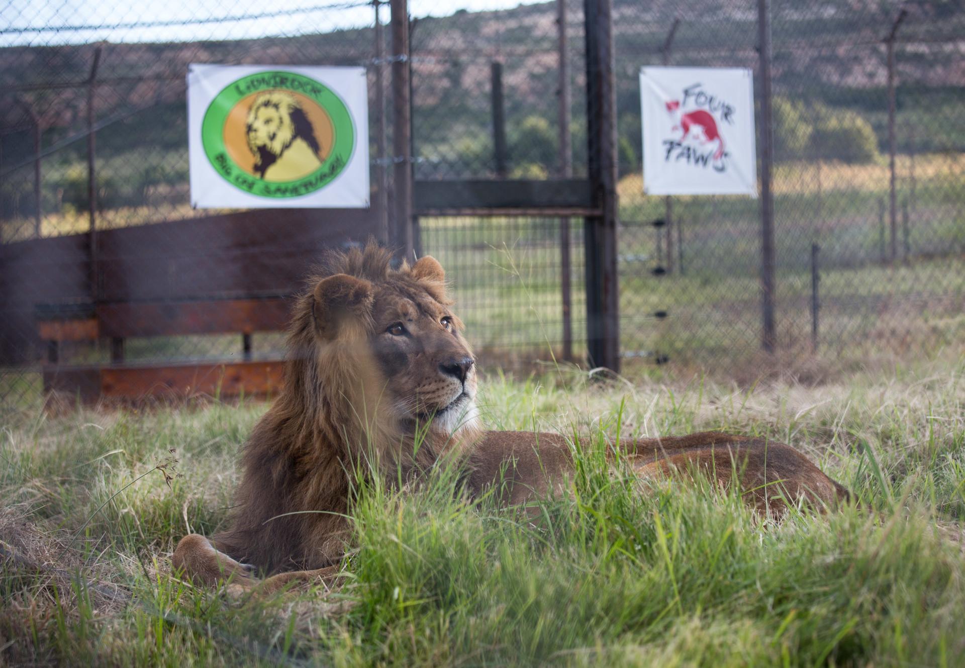 Löwe Saeed in Lionsrock (c) VIER PFOTEN
