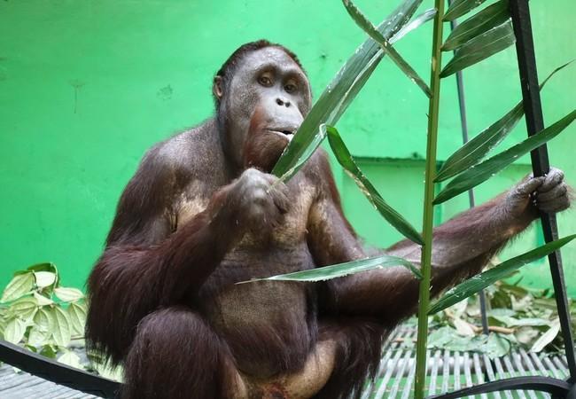 Orang-Utan Robin ist ein Blatt
