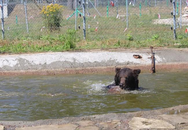 Bär genießt den Pool