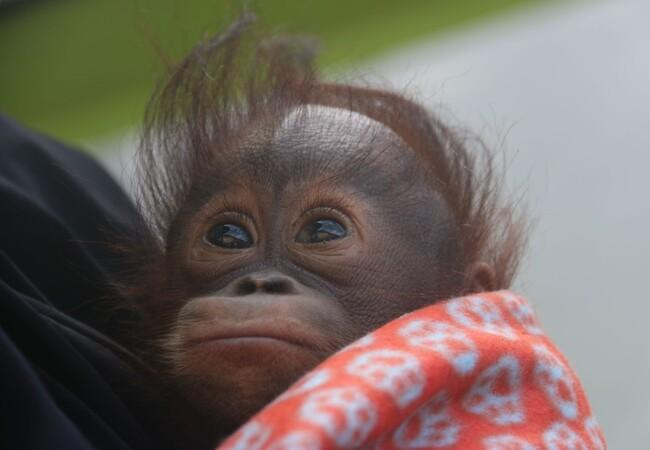 Baby orangutan Gonda when rescued