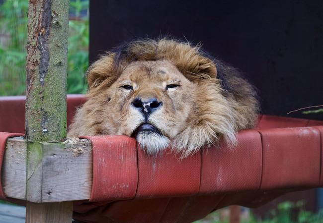 Lion Bobby loves his hammock