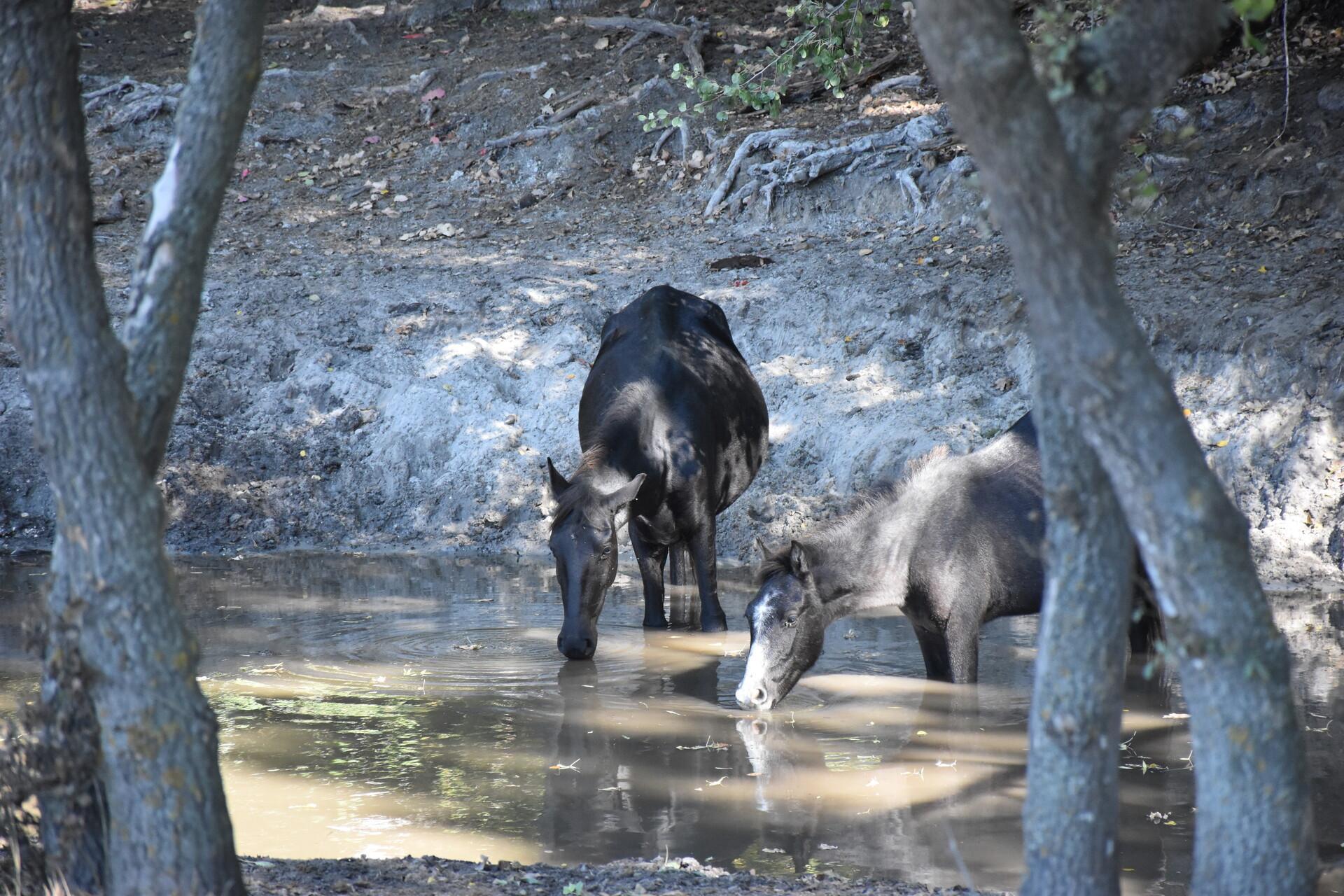 Wildpferde in Letea Rumänien