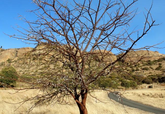 2m tall Acacia Karoo