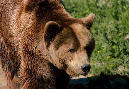 Bear Tyson