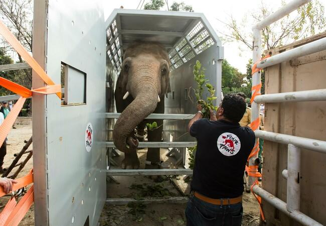 Elephant Kaavan loaded into his transport crate