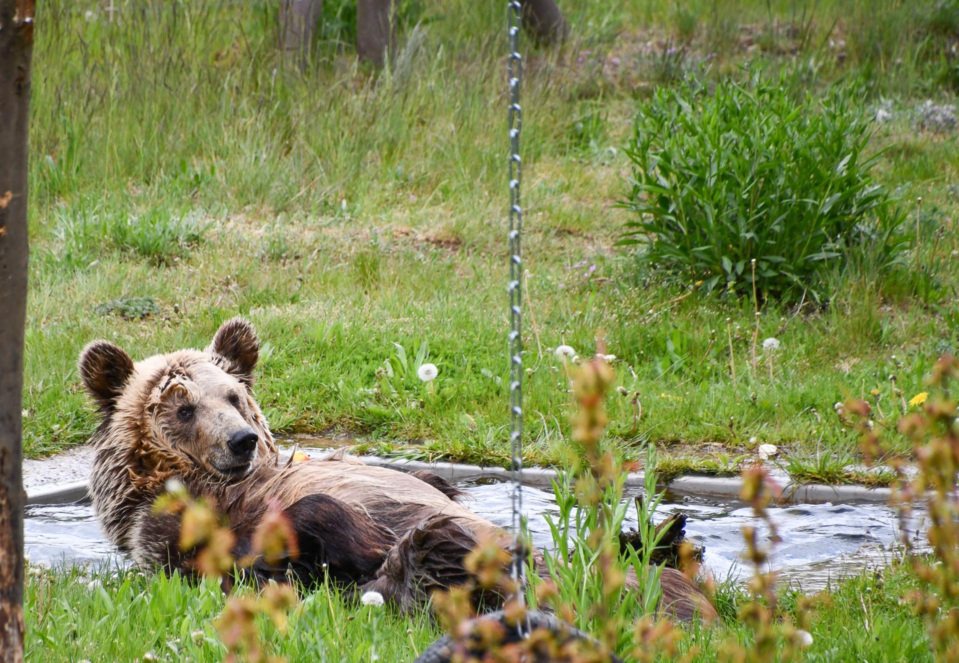 Bear Dushi in BEAR SANCTUARY Müritz