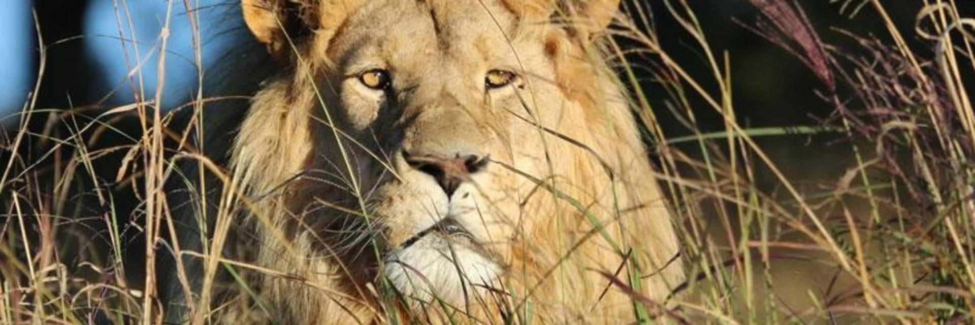 Save lions in South Africa