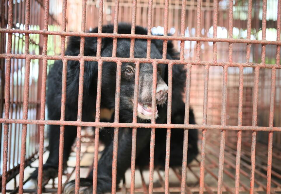7 bile bears caged in Vietnam