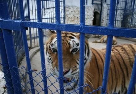 Tiger werden gezüchtet und geschlachtet für Produkte wie Tigerwein und Tigersuppenpulver